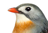Close-up of a Red-billed Leiothrix, Leiothrix lutea, isolated on