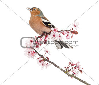 Common Chaffinch perched on Japanese cherry branch, tweeting -Fr