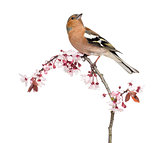 Common Chaffinch perched on branch, isolated on white - Fringill