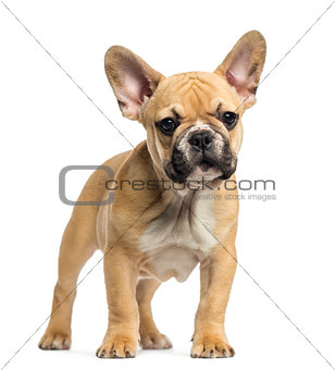 French Bulldog puppy standing, looking at the camera, 3 months o