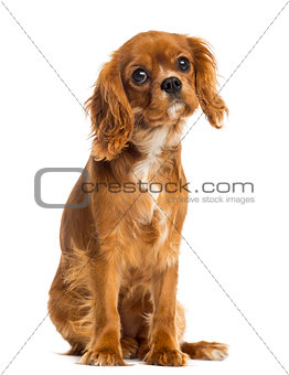 Cavalier King Charles Spaniel puppy sitting, facing, 5 months ol