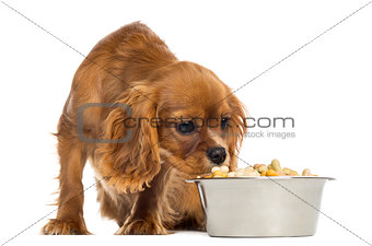 Cavalier King Charles Spaniel puppy eating from a bowl, 5 months