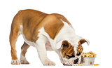 English Bulldog puppy standing, eating from a bowl full of biscu