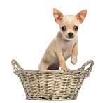 Chihuahua puppy standing in a wicker basket, looking at the came