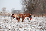 horses on snowy pasture