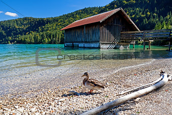 duck by fisherman hut on Walchensee