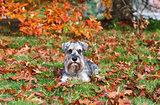 cute miniature schnauzer outdoors