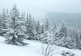 Winter snowfall  mountain fir trees