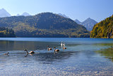 swan family on Alpsee