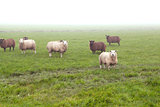 sheep in fog outdoors