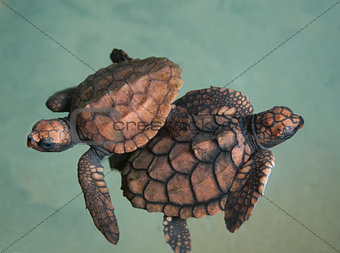 two turtlet