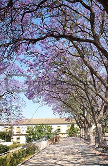 Avenue of flowering acacias