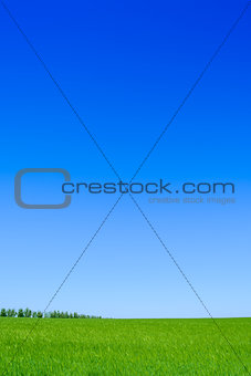 Green Wheat Field and Blue Sky. Landscape Background
