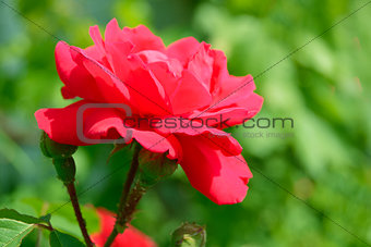 Beautiful Red Rose Flower against Green Foliage Background