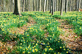 Spring forest covered with daffodils