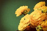 Yellow ranunculus flowers