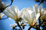 White magnolia flowers