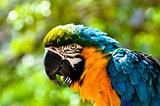 Macaw Looking at Camera