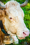Bavaria cow