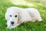 Loving young Golden Retriever