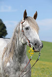 Portrait of quarter horse holding yellow flower
