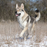 Czechoslovakian wolfdog running in winter