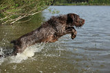 Spinone italiano jumping in water