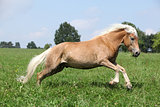 Jumping chestnut horse with blond mane in nature
