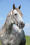 Grey quarter horse in front of blue sky