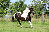 Paint horse running on pasturage