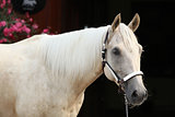 Palomino quarter horse in front of dark background