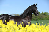 Friesian horse behind yellow flowers