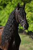 Beautiful friesian horse with spring green on the background