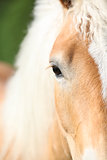 Nice eye of blond haflinger