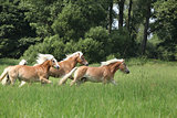 Batch of chestnut horses running in freedom