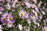 violet chamomiles