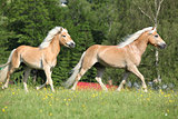 Two haflinger horses running on pasturage
