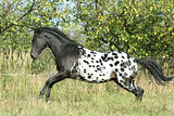 Beautiful appaloosa stallion running in autumn