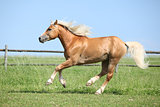 Beautiful haflinger stallion running on pasturage