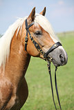 Beautiful haflinger stallion with bridle