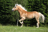 Nice haflinger stallion running on pasturage
