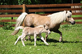 Nice shetland mare with foal running