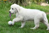 Golden retriever puppy holding a ball