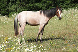 Young welsh pony standing on pasturage