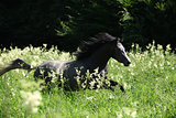 Gorgeous horse running in flowers in back light