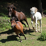 Three horses running on pasturage