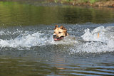 American Staffordshire Terrier swimming in water