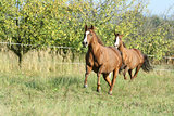 Two horses running on pasturage in autumn