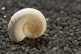 white  snail on black pebble