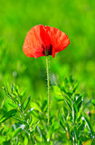 Red poppy (Papaver rhoeas) with out of focus field
